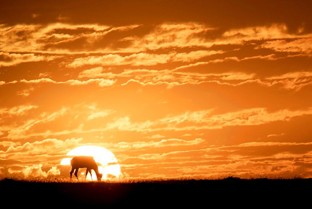 Topi at sunrise, Maasai Mara, Kenya, East Africa, Africa - 1315-64