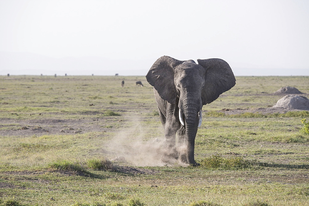 Elephant stirring up dust in Amboseli National Park, Kenya, East Africa, Africa
