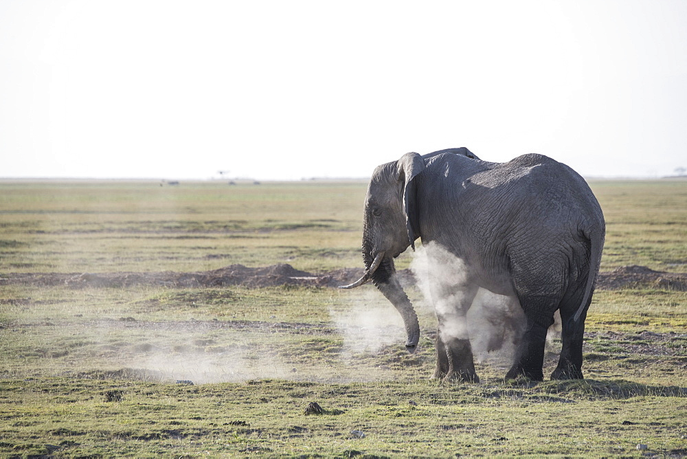 Elephant spraying dust on itself in Amboseli National Park, Kenya, East Africa, Africa