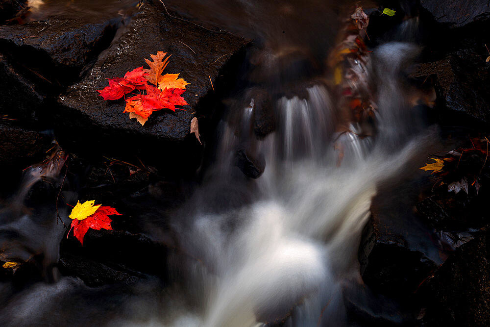 Maple Leaves in waterfall