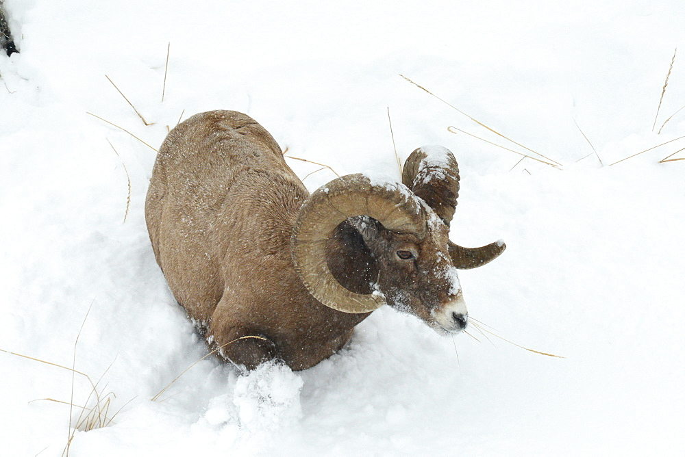 Male big horn sheep in snow, Lamar Valley, Montana, United States of America, North America