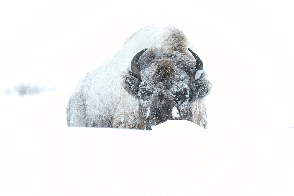 Bisons in snow, Lamar Valley, Montana, United States of America, North America