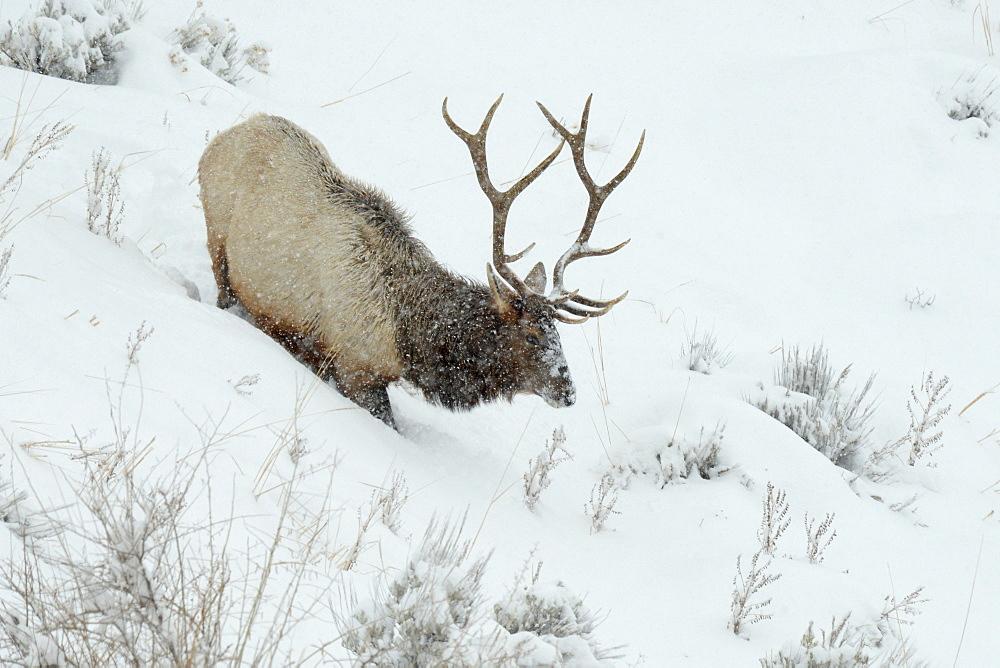 Male Elk in snow, Montana, United States of America, North America