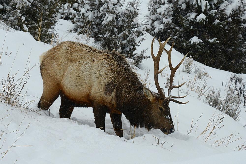 Male Elk in snow