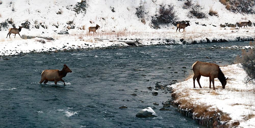 Female elks in snow, Montana, United States of America, North America