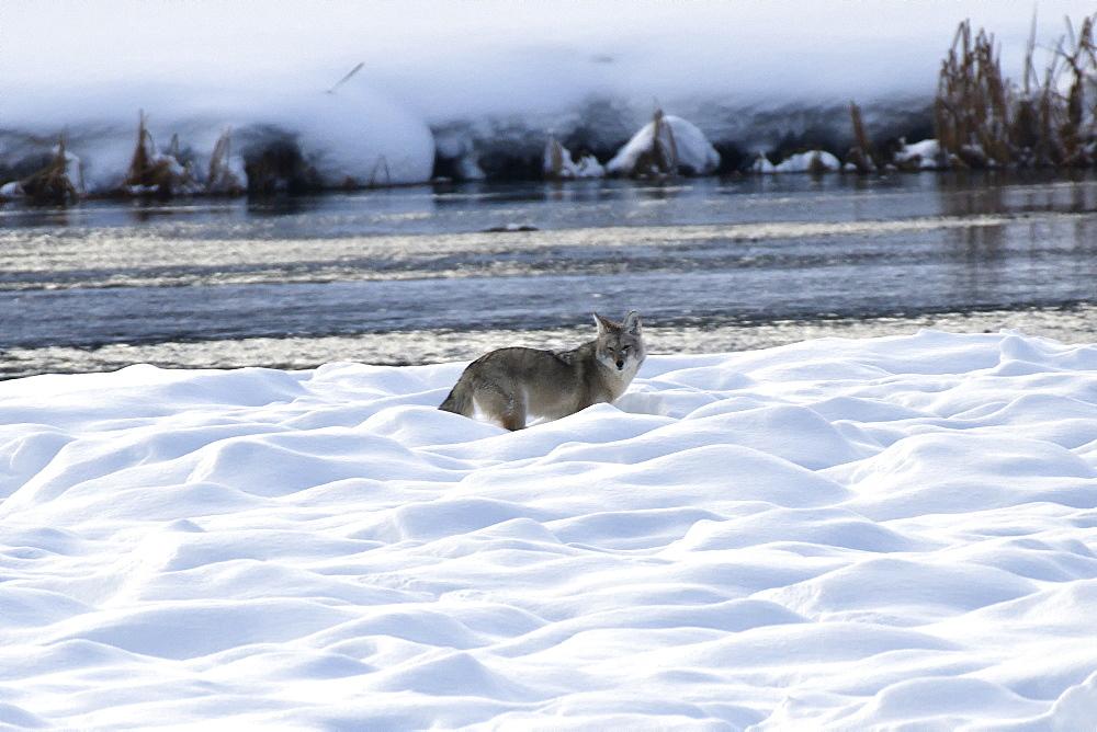 Coyote, Montana, United States of America, North America