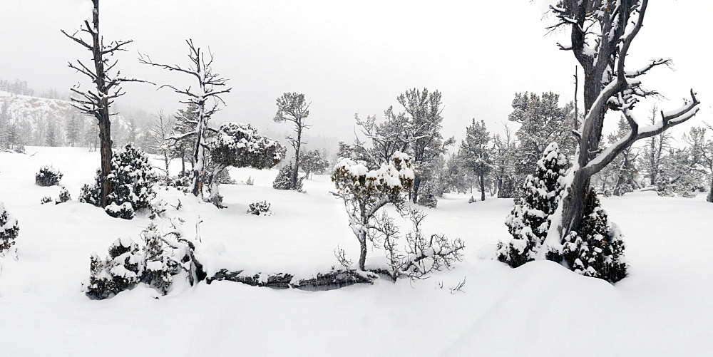 Trees covered in snow, Montana, United States of America, North America