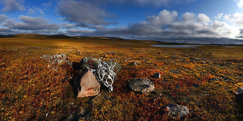 Reindeer antlers piled up in Canadian Tundra - 1318-37