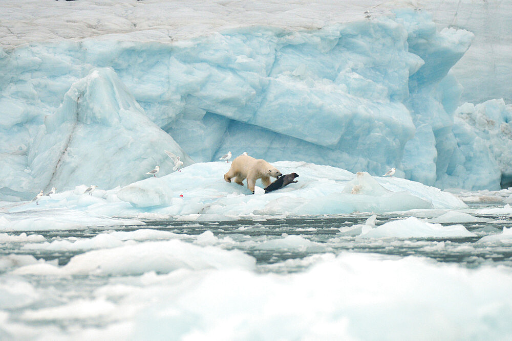 Polar bear on sea ice hunting a seal