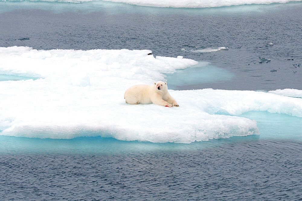 Polar bear with bloodied face on sea ice