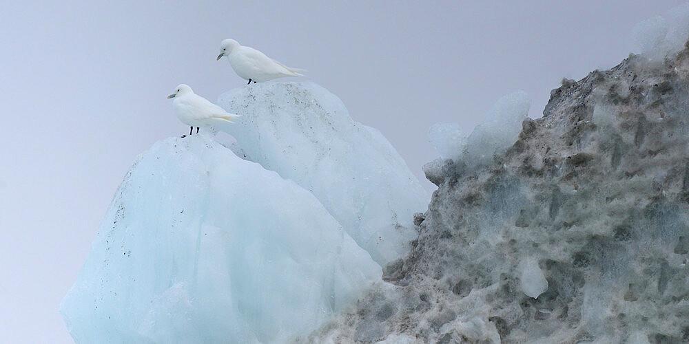 Pair of Glaucous gulls standing on iceberg