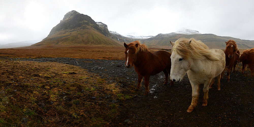 Icelandic horses, Iceland, Polar Regions