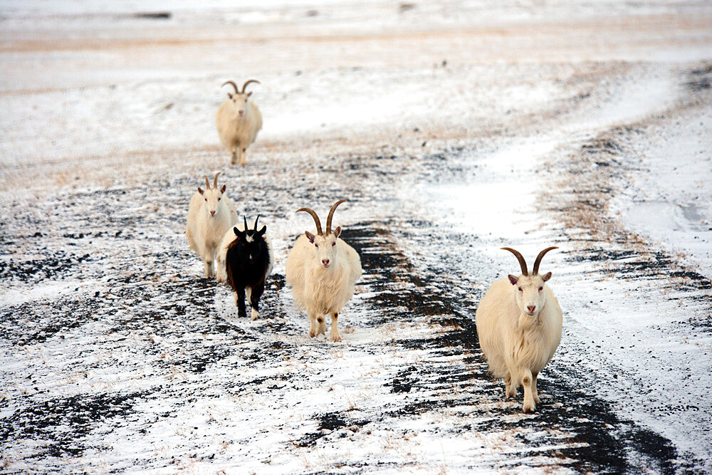 Goats on snowy terrain