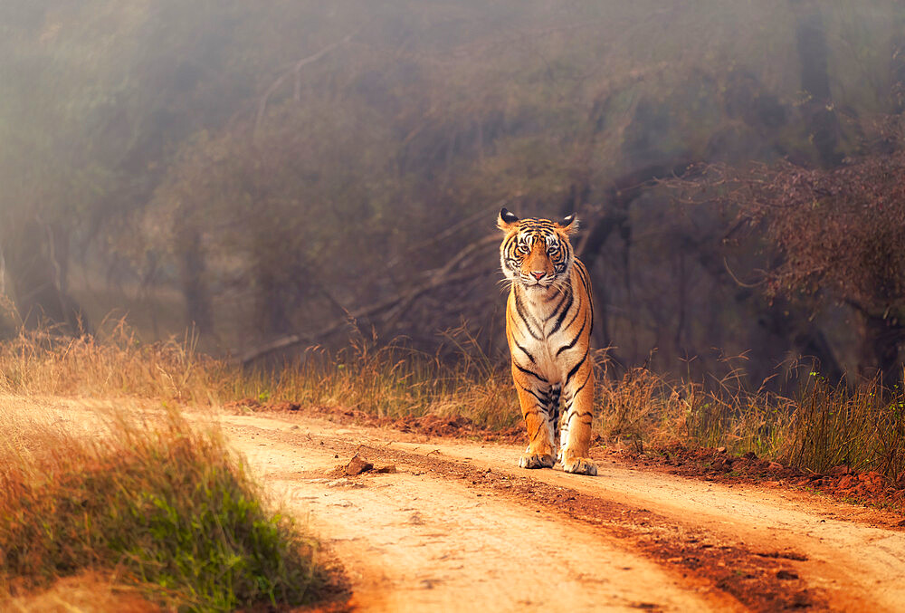Royal Bengal Tiger at Ranthambore National Park in India