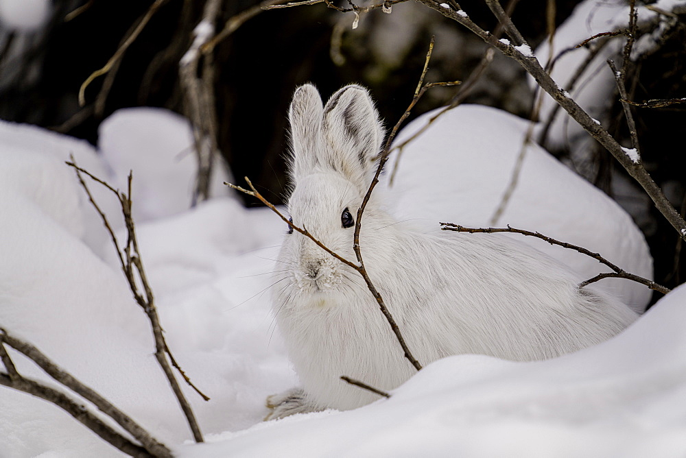 White Snowshoe Hare sitting in its snowy burrow, Denali National Park, Alaska