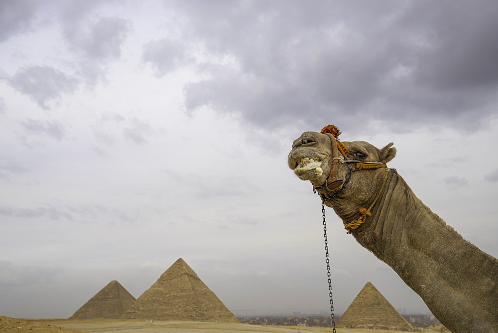 The Pyramids of Giza with Camel, Cairo Egypt - 1320-16