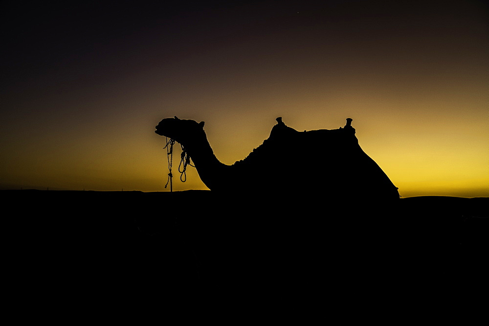 Silhouette of camel in the desert, Cairo, Egypt, North Africa, Africa