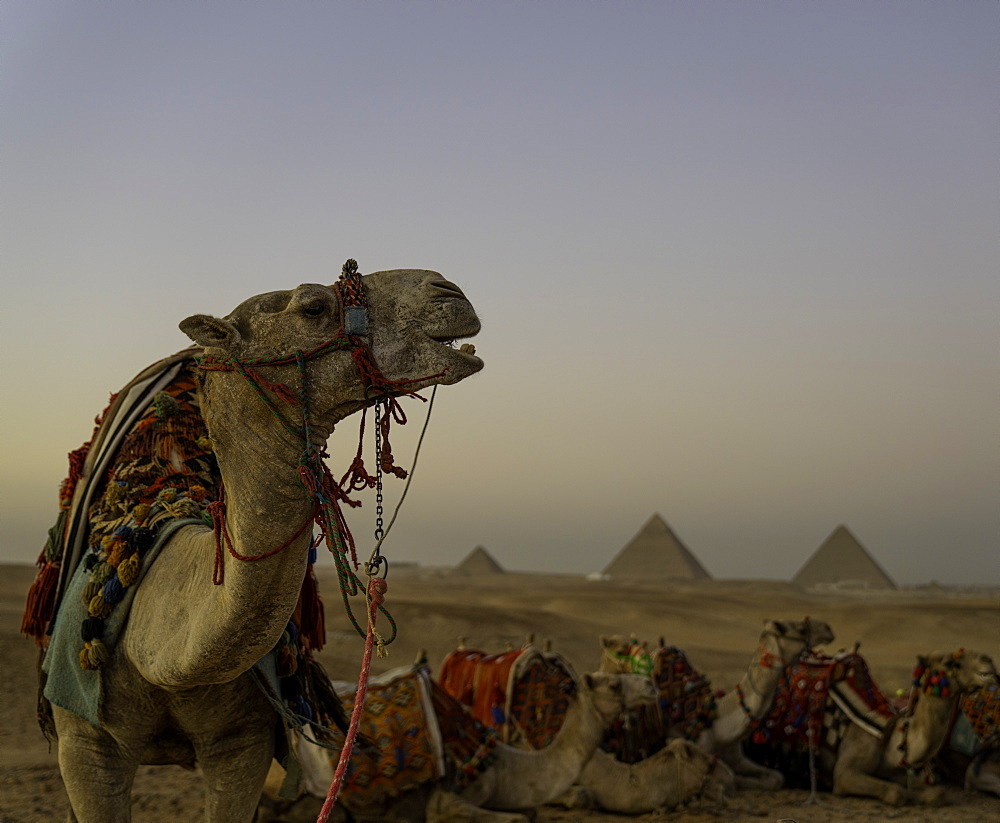 The Pyramids of Giza with Camel, Cairo Egypt - 1320-20