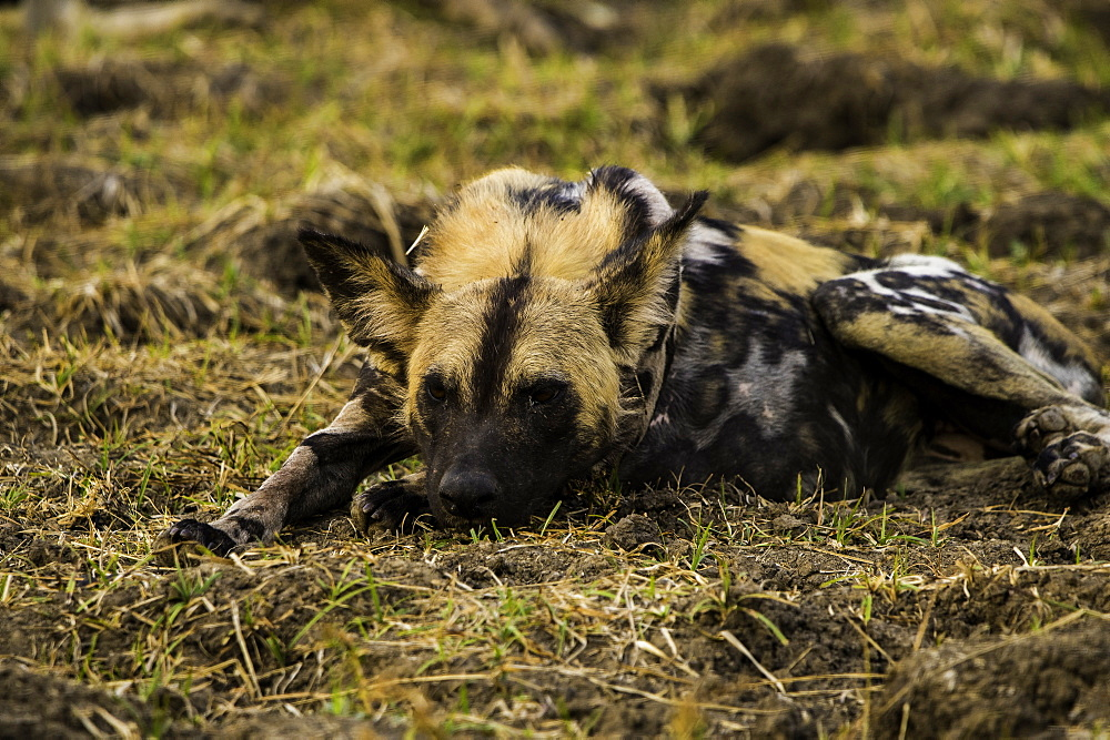 African Wild Dog rests in grass pasture, South Luangwa National Park, Zambia - 1320-36
