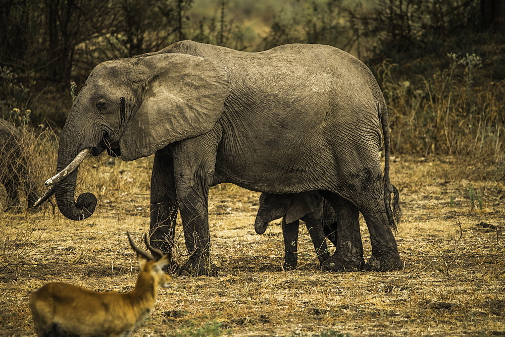 Mother Elephant and her offspring walk through pasture as an impala looks on, South Luangwa National Park, Zambia - 1320-40
