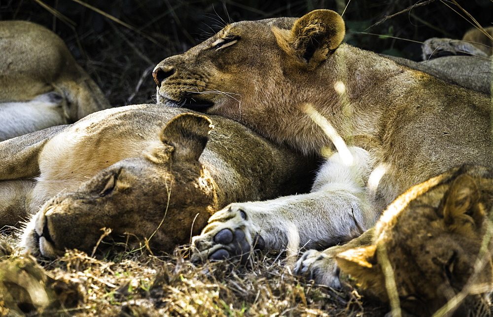 A pride of Lions nap under a shady bush, South Luangwa National Park, Zambia - 1320-42