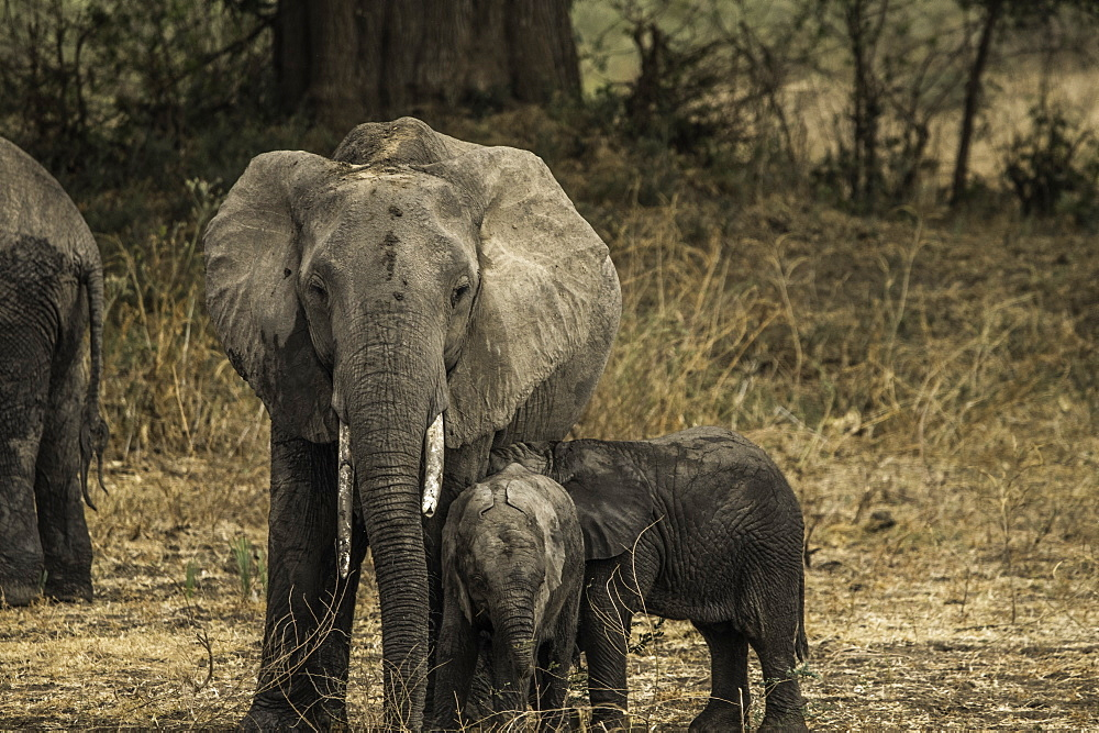 Mother Elephant and her two offspring walk through pasture, South Luangwa National Park, Zambia - 1320-43