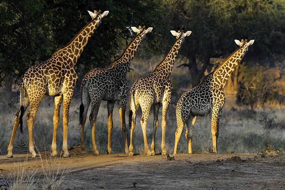 Herd of Giraffe stare off into the distance , South Luangwa National Park, Zambia - 1320-47