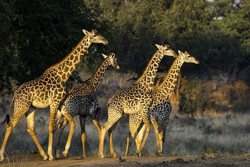 Herd of Giraffe walk through open pasture, South Luangwa National Park, Zambia - 1320-48