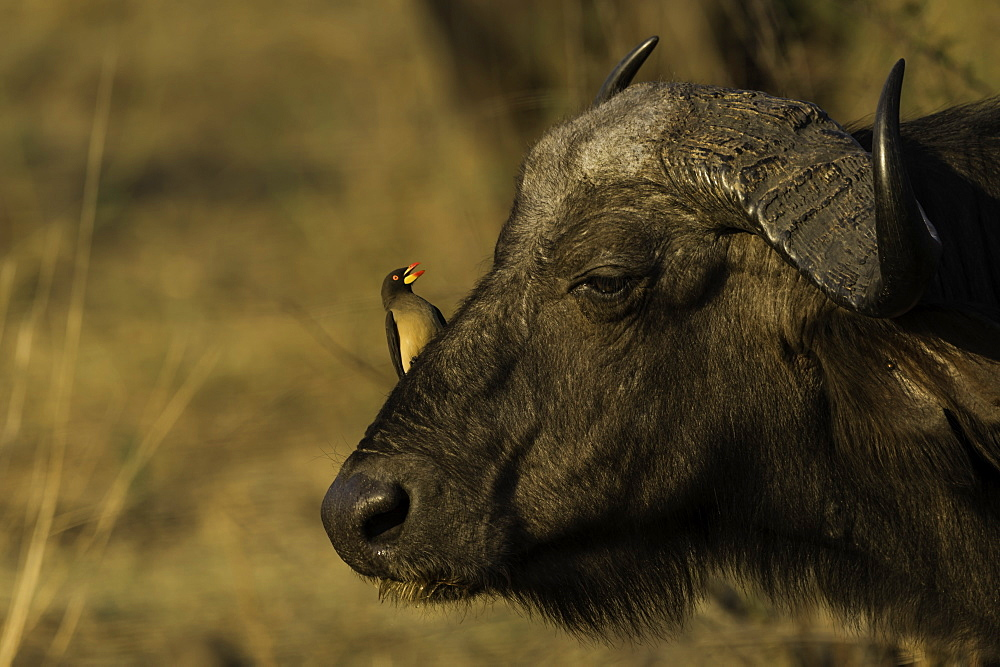 Red Billed Oxpecker sitting on the head of an African Cape Buffalo, South Luangwa National Park, Zambia. - 1320-5