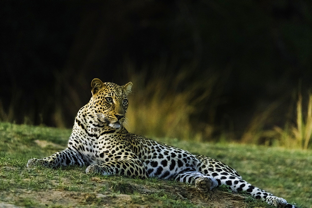 Camouflaged Leopard rests in grass patch as it turns dusk, in South Luangwa National Park, Zambia - 1320-51