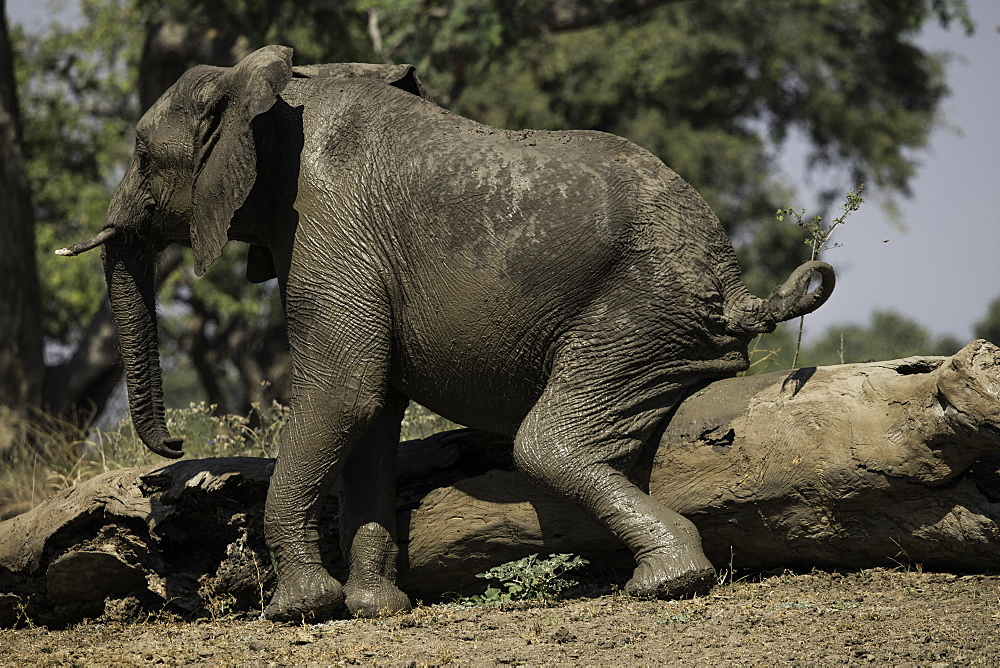 African Elephant scratching its behind on a log, South Luangwa National Park, Zambia - 1320-54