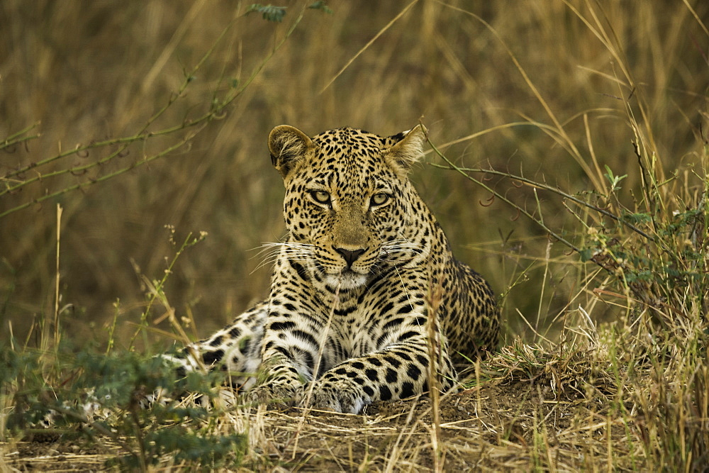 Camouflaged Leopard rests in brush and tall grass, South Luangwa National Park, Zambia - 1320-59