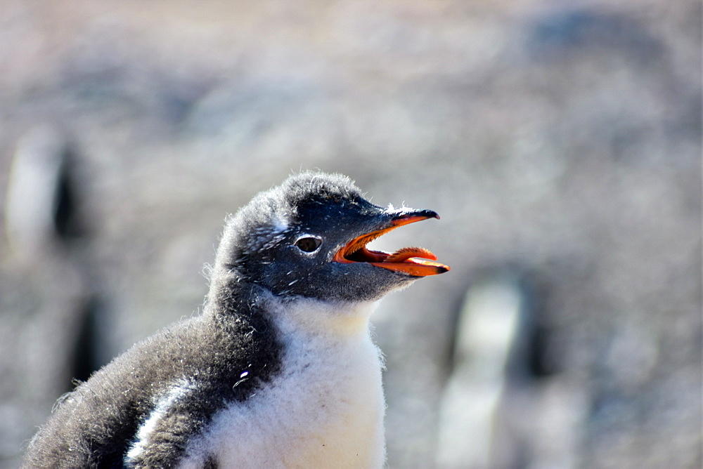 Antarctic Gentoo Penguin panting due to summer heat wave, Antarctica - 1320-65