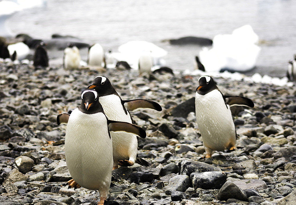 Group of Antarctic Gentoo Penguins waddling up the rocky beach, Antarctica - 1320-67
