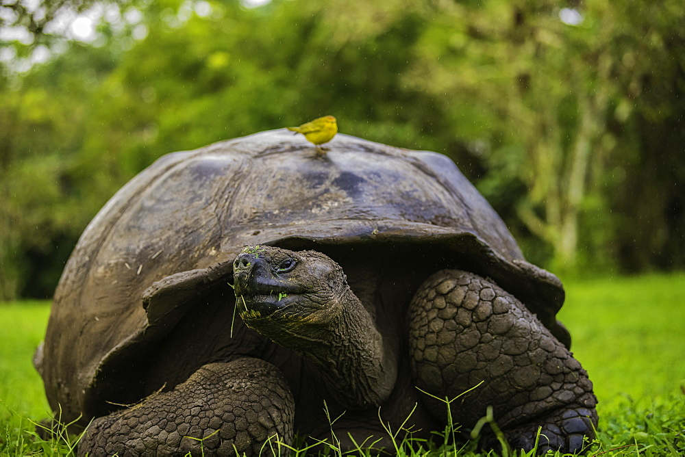 Giant Tortoise with Yellow Darwin Finch on its shell, Giant Tortoise Reserve, Santa Cruz, Galapagos, Ecuador, South America