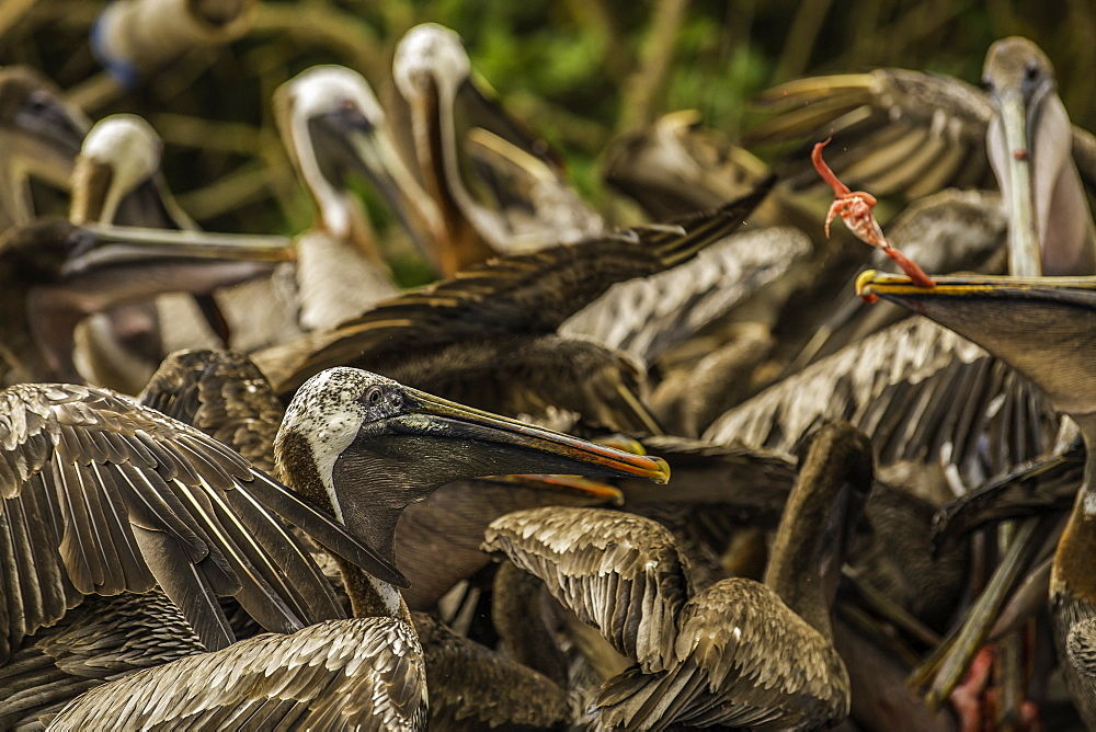Brown Pelicans fighting over fish guts, Isabela Island, Galapagos, Ecuador, South America