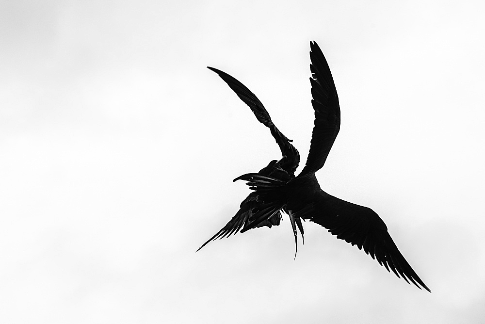 Two Red-bellied frigate birds fighting in flight, Isabela Island, Galapagos, Ecuador, South America
