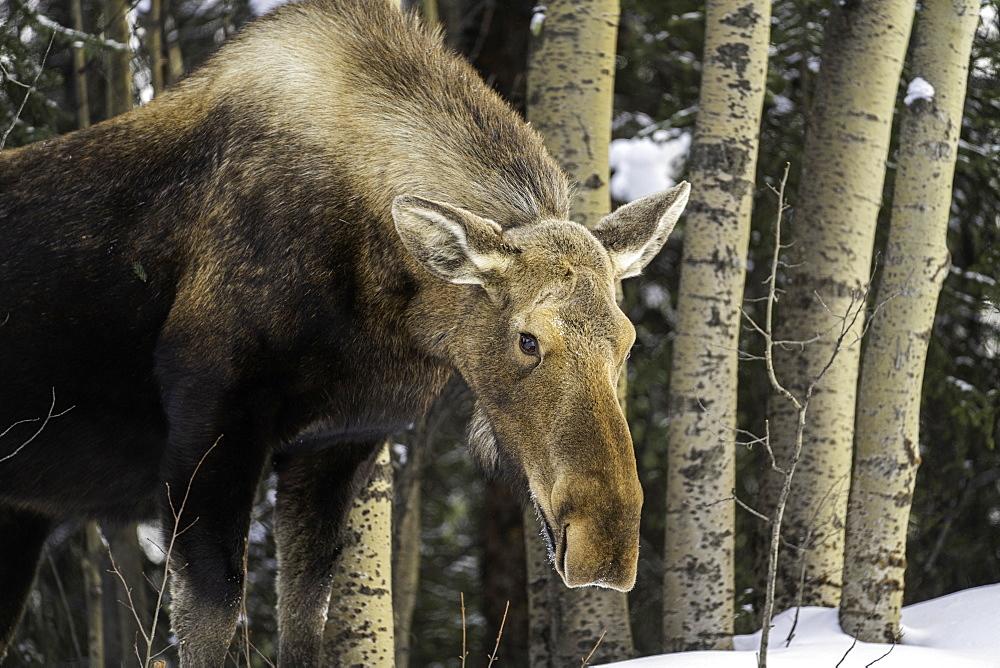 An Alaskan moose in winter roaming the Denali National Park, Alaska
