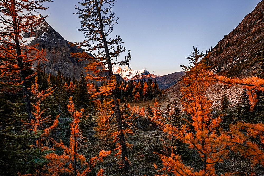 Mountains and larches, Yoho National Park, UNESCO World Heritage Site, British Columbia, Canada, North America - 1322-6