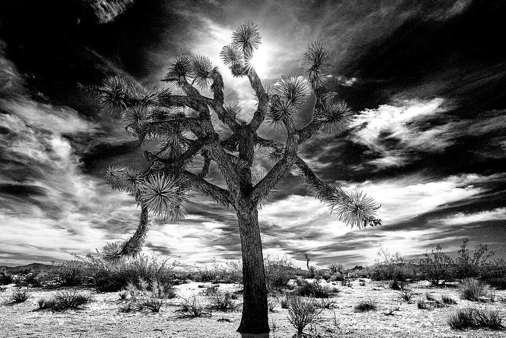 Joshua Tree in high-key black and white, Joshua Tree National Park, California, United States of America, North America