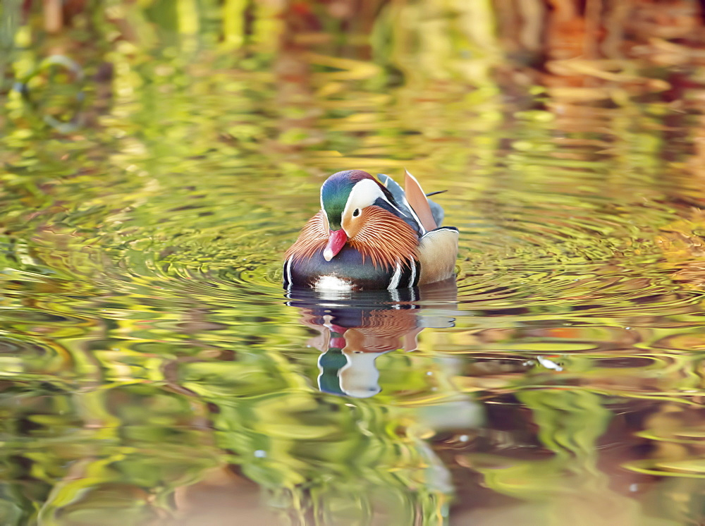 A mandarin duck, Aix galericulata, glides through the water in a reflective and colourful pond in Richmond park.