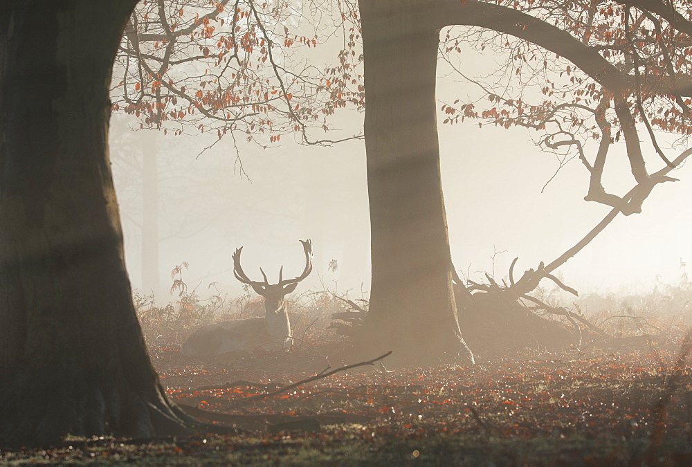A fallow deer stag, Dama dama, rests in a misty and foggy Richmond park one winter sunrise.