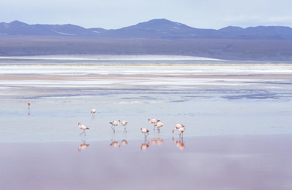 Laguna Colorada with flamingoes and mountain backdrop, Potosi, Bolivia, South America