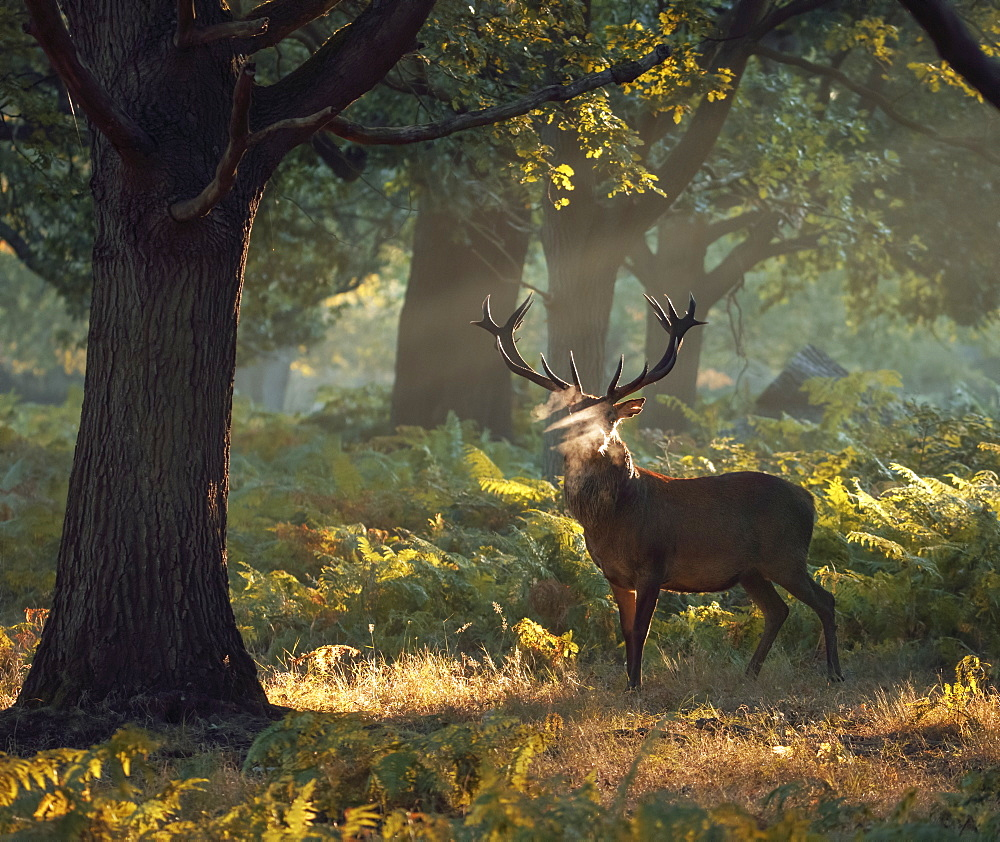 A large red deer stag (Cervus elaphus) stands his ground in a misty Richmond Park one autumn morning, Richmond, Greater London, England, United Kingdom, Europe - 1325-7