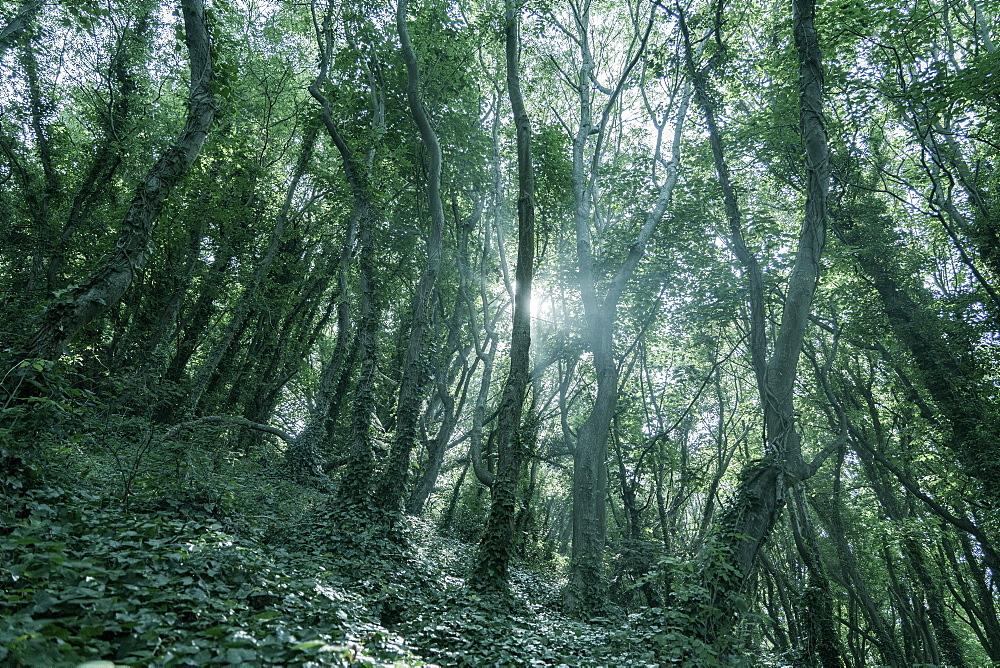Woodlands in Babbacombe, Dorset, England, United Kingdom, Europe - 1327-7
