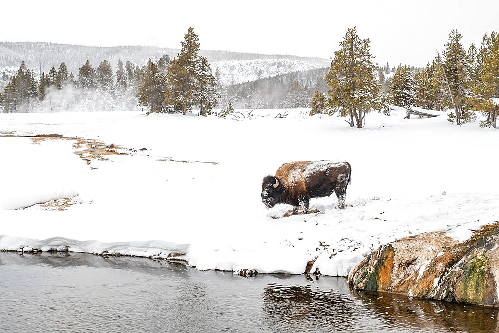 Snow covered bison, Bison Bison, on the river bank, Yellowstone National Park, Wyoming, United States - 1335-101