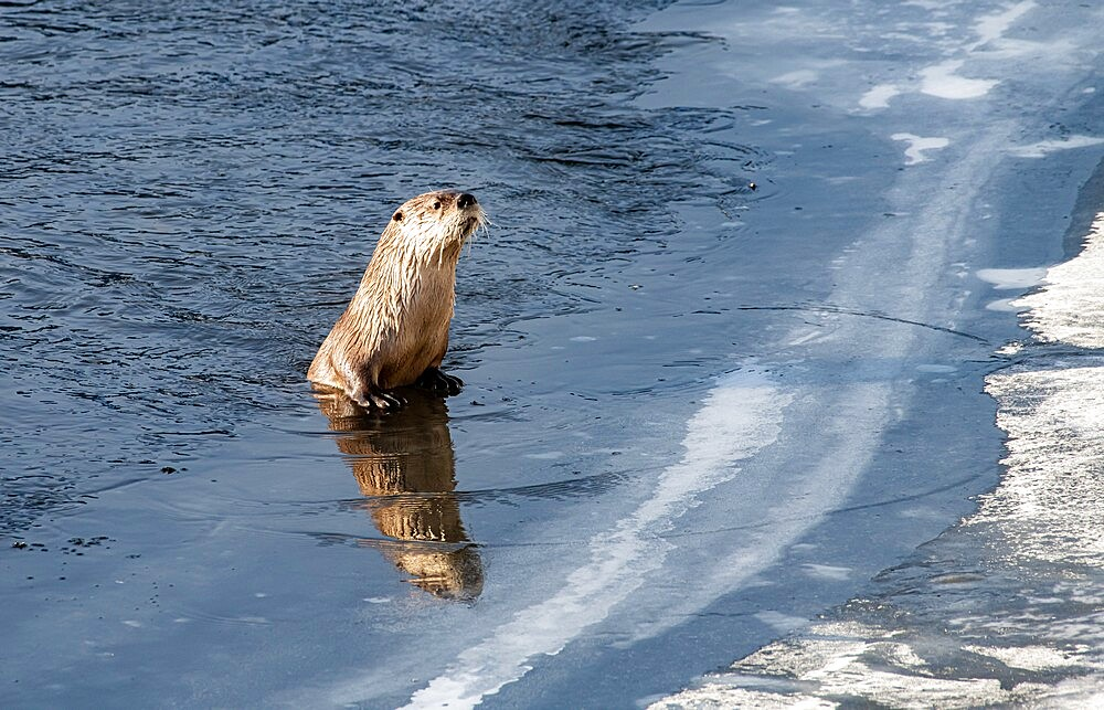 River otter, Lontra canadensis, peering over ice, with reflection, Yellowstone National Park, Wyoming, United States - 1335-102