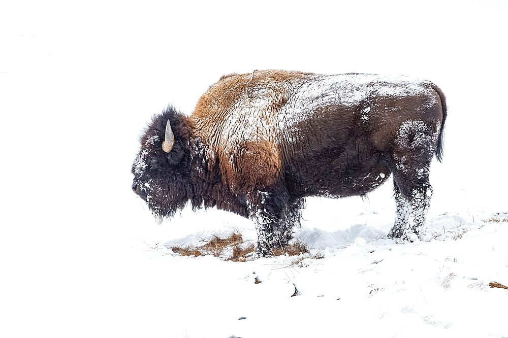 Snow covered bison, Bison Bison, Yellowstone National Park, Wyoming, United States - 1335-104
