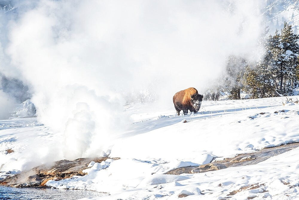 Bison, Bison Bison, in snow with geyser, Yellowstone National Park, Wyoming, United States - 1335-105