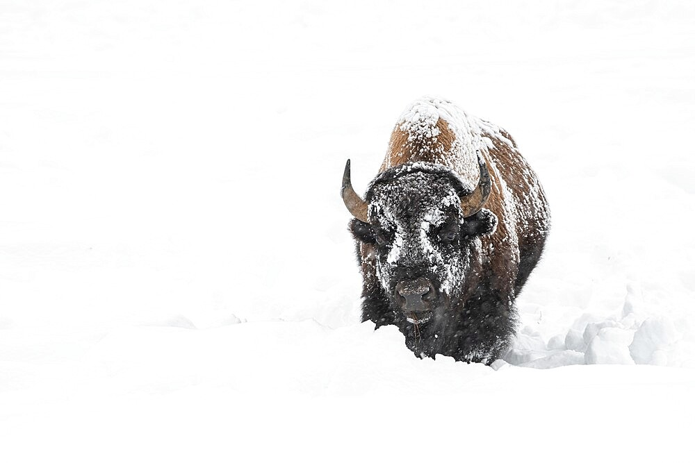 American bison covered in snow, Yellowstone National Park, Wyoming, United States - 1335-112